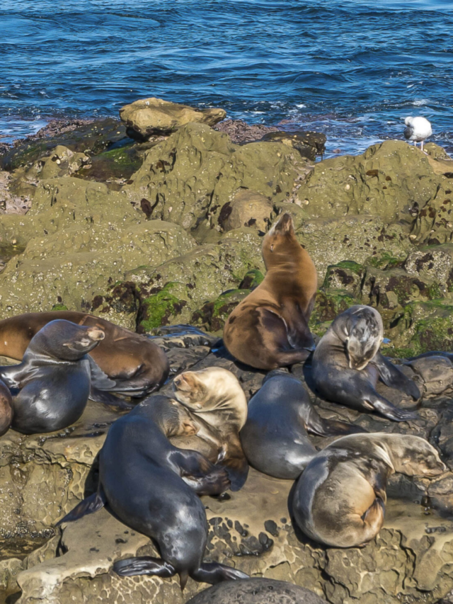 How to See the La Jolla Seals and Sea Lions Story